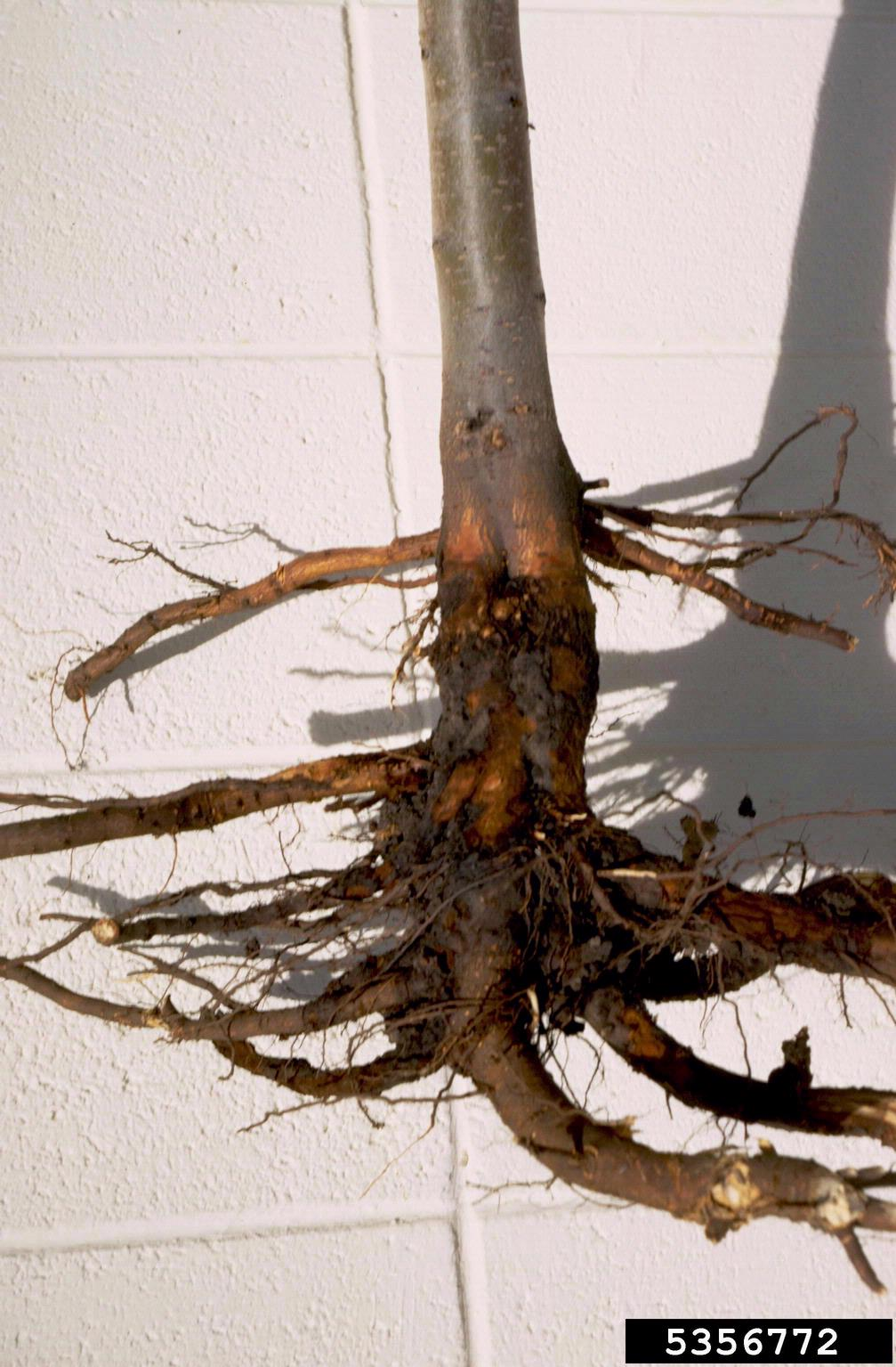 Crown Rot Disease What Is Crown Rot And How To Treat It
