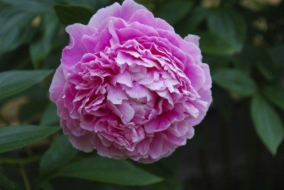 Peony Flowers Information On Care
