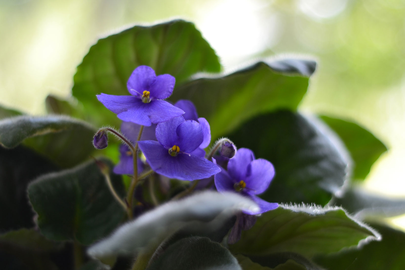 Growing African Violets Tips On How To Take Care Of African Violets