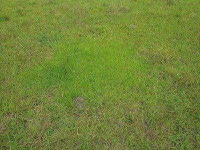 bahia-grass