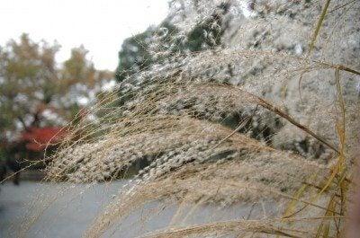 japanese-silver-grass