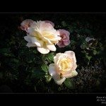 Stans Roses of 2012_August