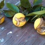 split-oranges