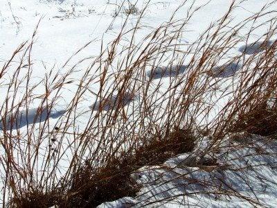 Broomsedge Grass Tips For Broomsedge Control