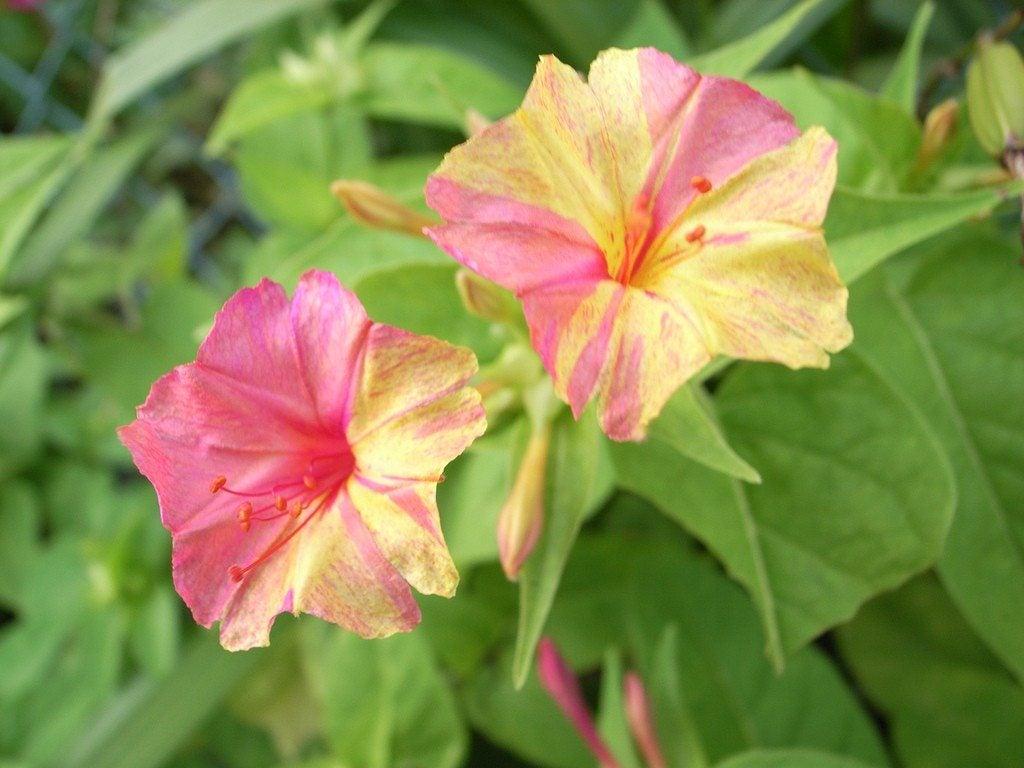 Four Oclock Flowers How To Grow Four Oclocks