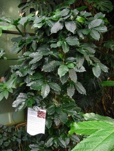 coffee-plant
