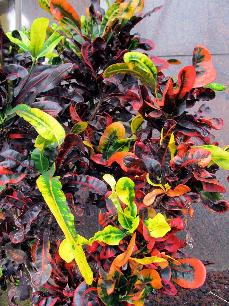 Croton growing caring for croton houseplant - Indoor colorful plants ...