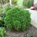 arborvitae-shrub