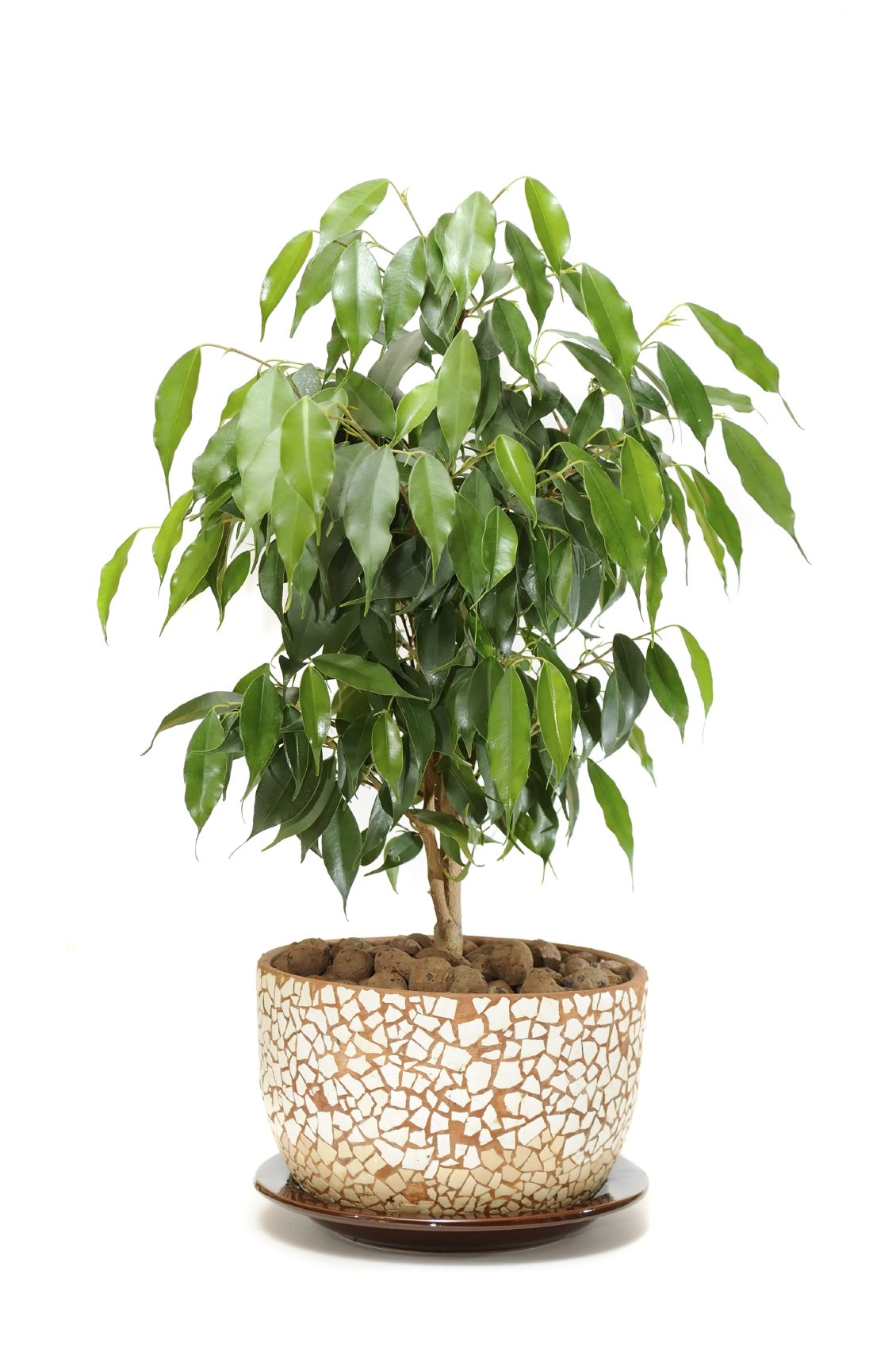 Ficus Houseplants How To Care For A Ficus Tree