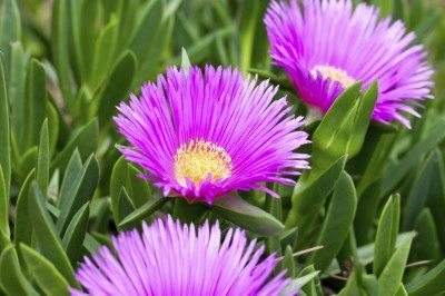 Growing ice plant flowers how to grow a hardy ice plant how to grow an ice plant and purple ice plant care mightylinksfo