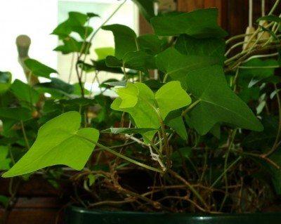 indoor-ivy-plant