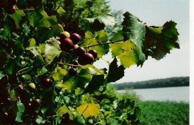 muscadine-vine