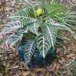 zebra-plant