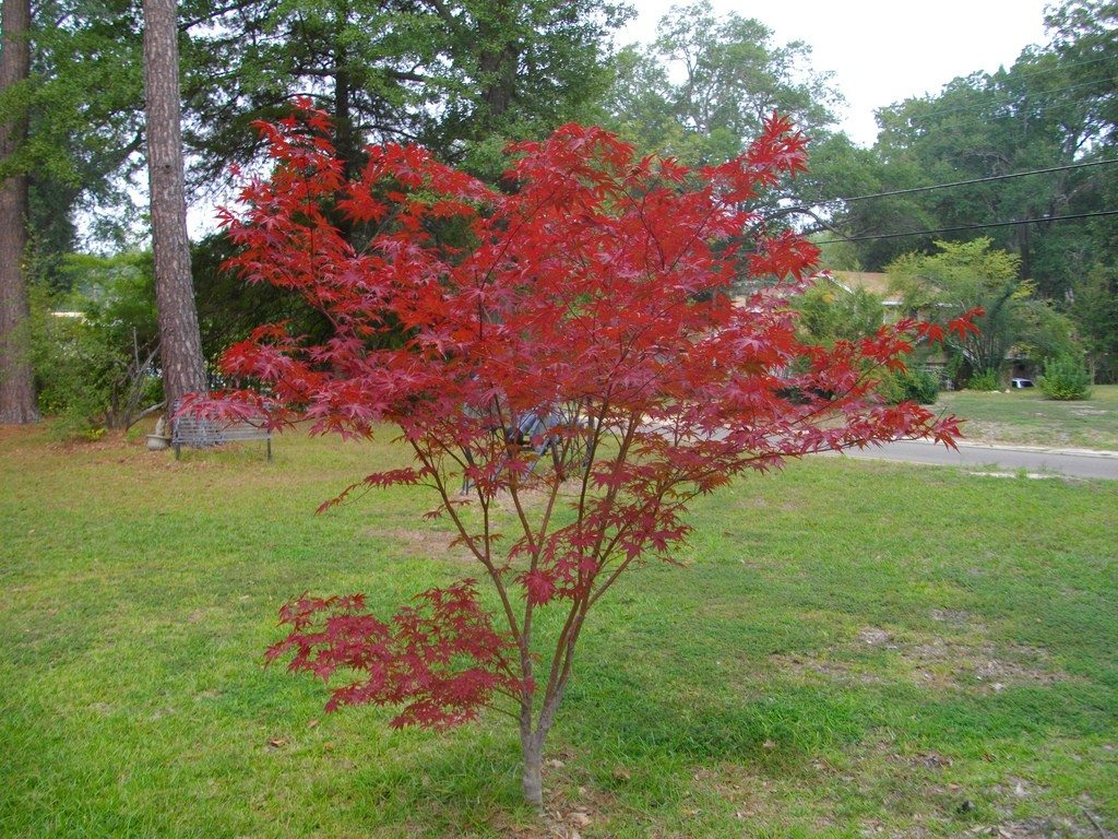 Japanese maple: planting, care 54