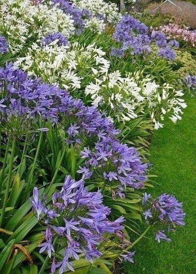 agapanthus-plants