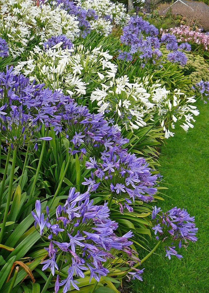 Agapanthus flowers tips for growing agapanthus plants for Plantes pour jardin anglais
