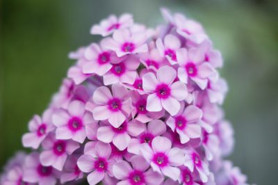 garden phlox plants tips for growing and care of garden phlox - Tall Garden Phlox