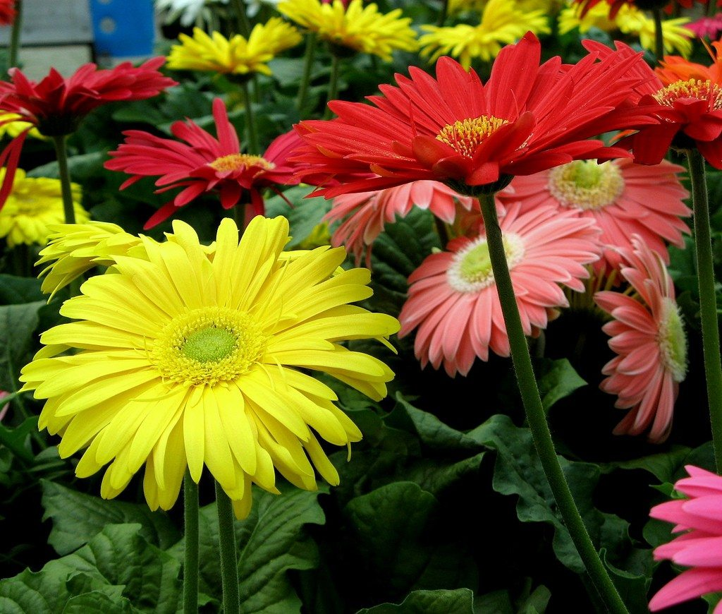 gerbera daisy planting guide growing gerbera daisy flowers. Black Bedroom Furniture Sets. Home Design Ideas