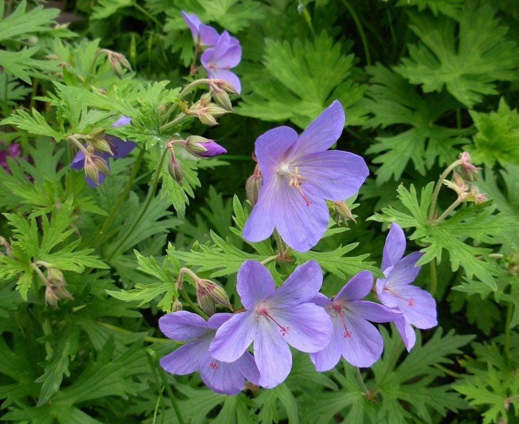 Cranesbill Geranium Flower How To Plant Hardy Geraniums