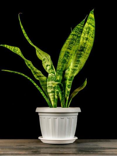 houseplant sansevieria