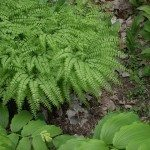 maidenhair-ferns