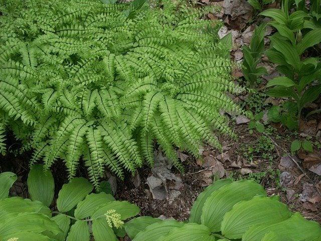 maidenhair fern care how to grow a maidenhair fern. Black Bedroom Furniture Sets. Home Design Ideas