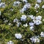 plumbago-shrub