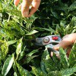pruning-aucuba