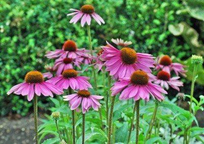Purple Coneflower Plants Information On Growing Coneflowers