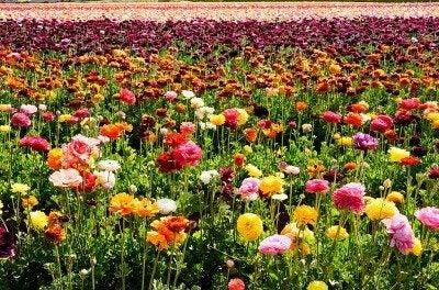 ranunculus-buttercups