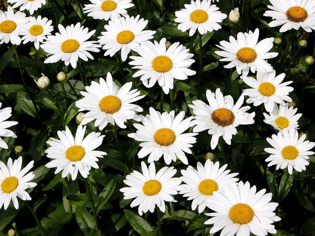 Shasta Daisy Flowers: Information On How To Grow Shasta Daisy