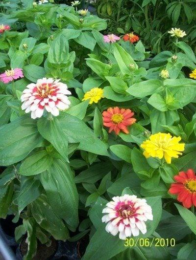 zinnia-flowers