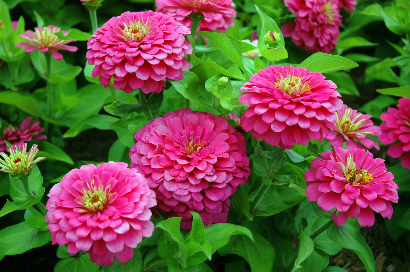 Growing Zinnia Plants Tips How To Plant Zinnias