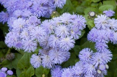 Close/up of a bed of Ageratum blue flowers