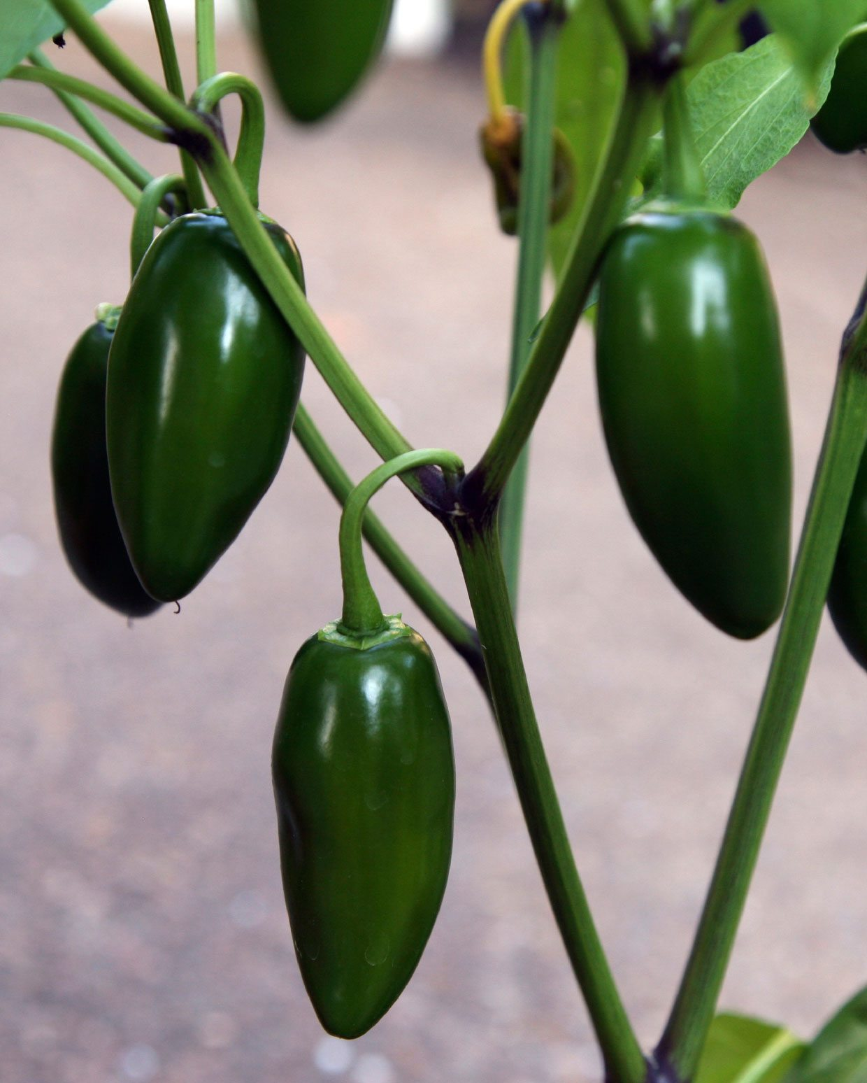 Jalapeno pepper plant growing and caring for jalapeno peppers - Planting pepper garden ...