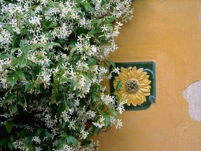 Growing Jasmine Plant Information For And Care Of A Vine