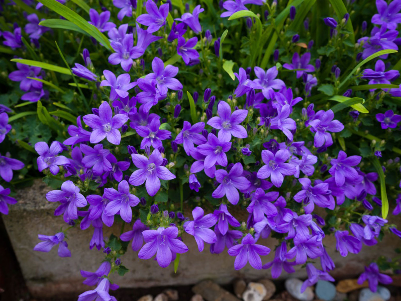 Campanula Bellflower Care Conditions For Growing Bellflowers