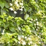 Climbing Hydrangea and water fountain