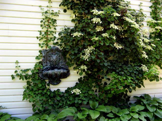 Climbing Hydrangea Plant – Tips On How To Grow a Climbing Hydrangea