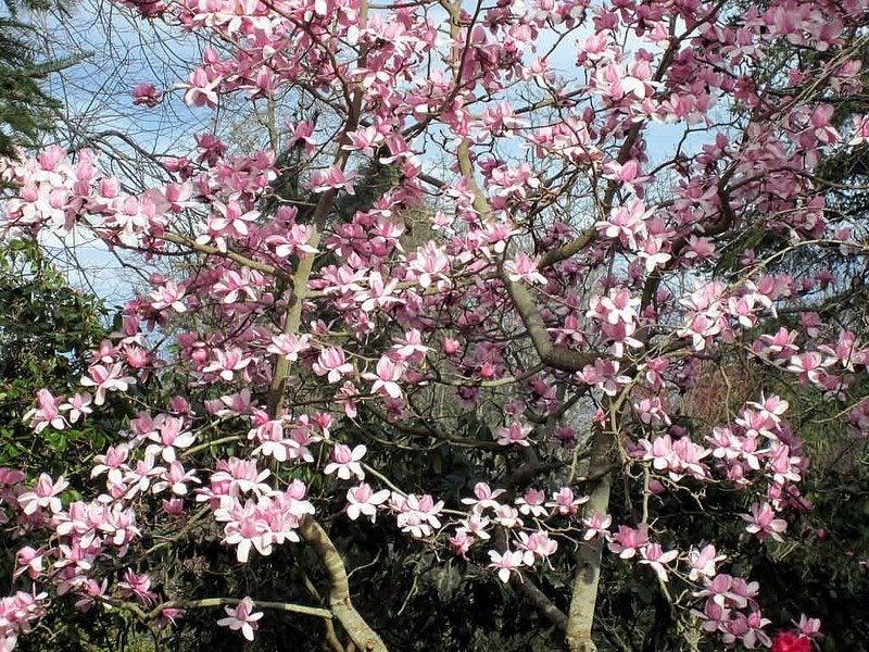 Magnolia tree care how to grow healthy magnolia trees for Magnolia tree