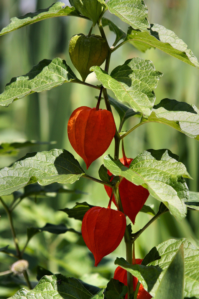 Chinese Lantern Information: How To Care For A Chinese Lantern