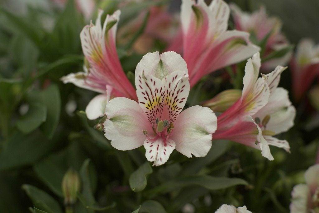 Lilies Photos 28 Images 3d Lily Petal Leaf Day
