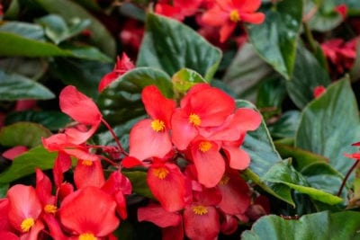 Babywing Pink Begonia Calloway S Nursery Annual Plants Begonia Live Plants