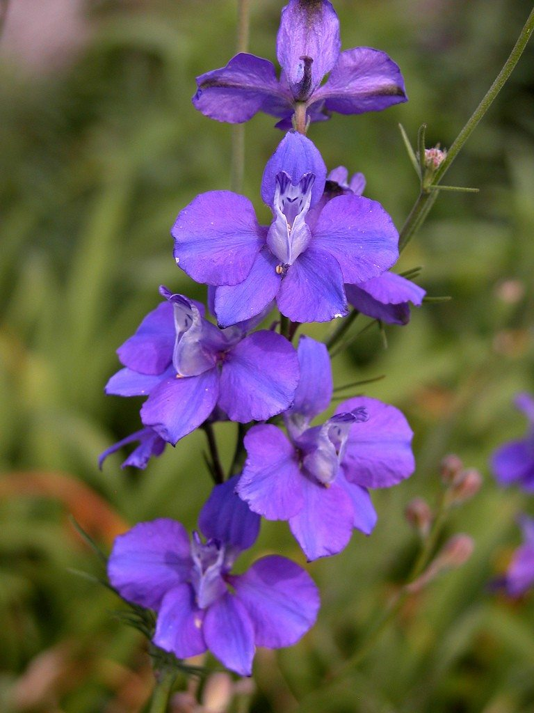 Growing Larkspur Flowers Information On When To Plant Larkspurs