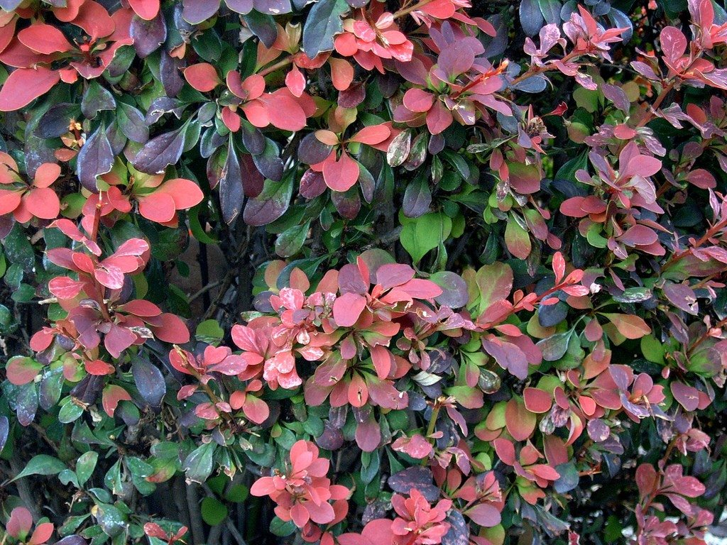 Hedge Bushes: Barberry Plant Information