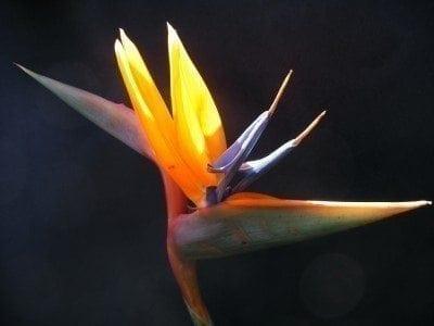 Propagating Bird Of Paradise Plants Growing Bird Of Paradise Seeds