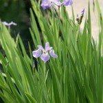 blue-flag-iris