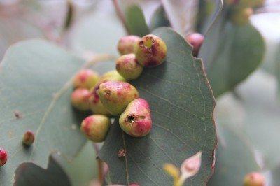 Leaf gall on  Blue gum