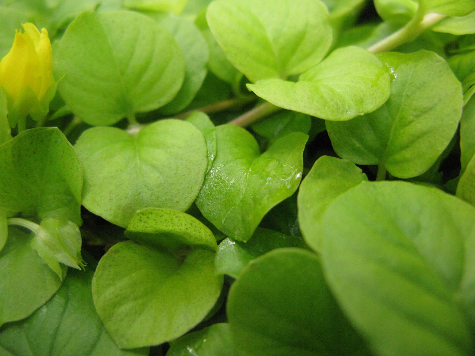 Creeping Jenny Plant Info How To Grow, Is Creeping Jenny A Good Ground Cover