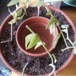 forsythe-pot